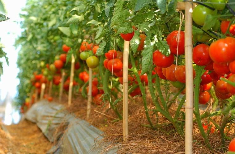 Cách trồng cà chua sạch tại nhà