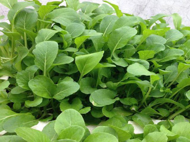 Cách trồng cải ngọt an toàn