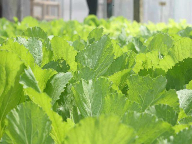 Trong cải bẹ xanh chứa nhiều vitamin và dưỡng chất