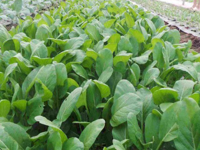 Khi nào thì trồng rau cải ngọt?
