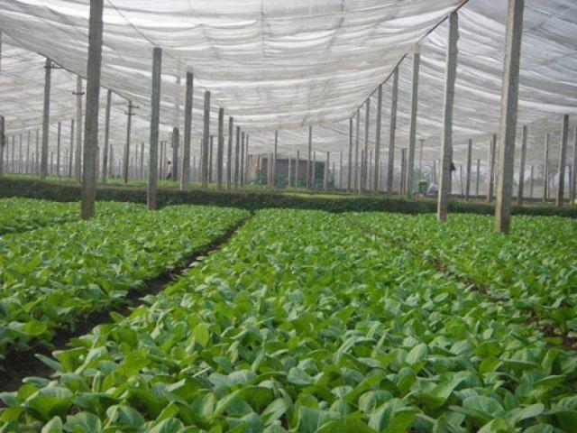 Vân Nội là một trong số trang trại cung cấp rau sạch lớn nhất Việt Nam